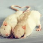 Prophetic Rodents: Neuroscientists Find Hints That Rats Dream of the Future